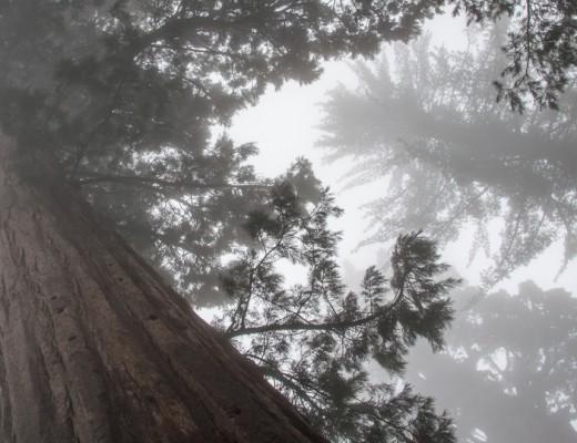 B_Sequoia