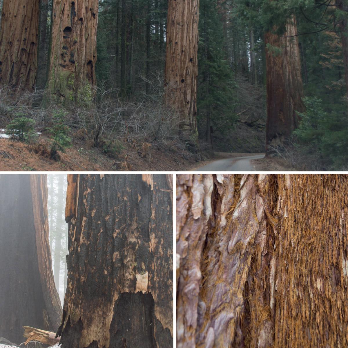 Sequoia_Baeume